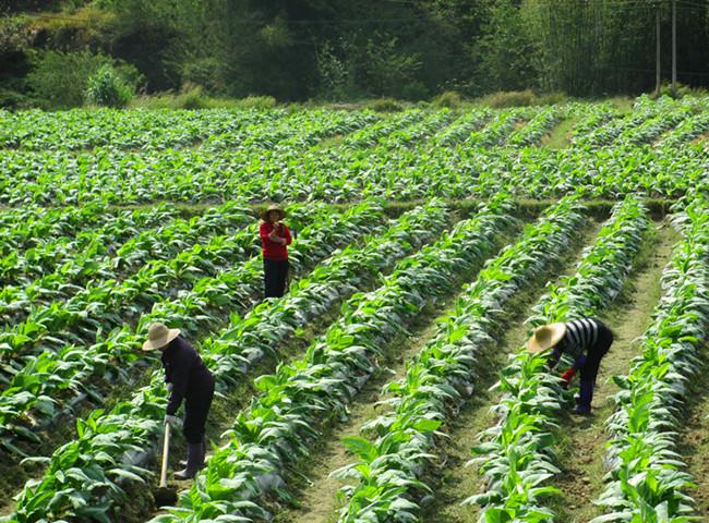 烟区农民忙耕作 烟叶生长真旺盛图片